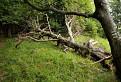 Spadnuty strom