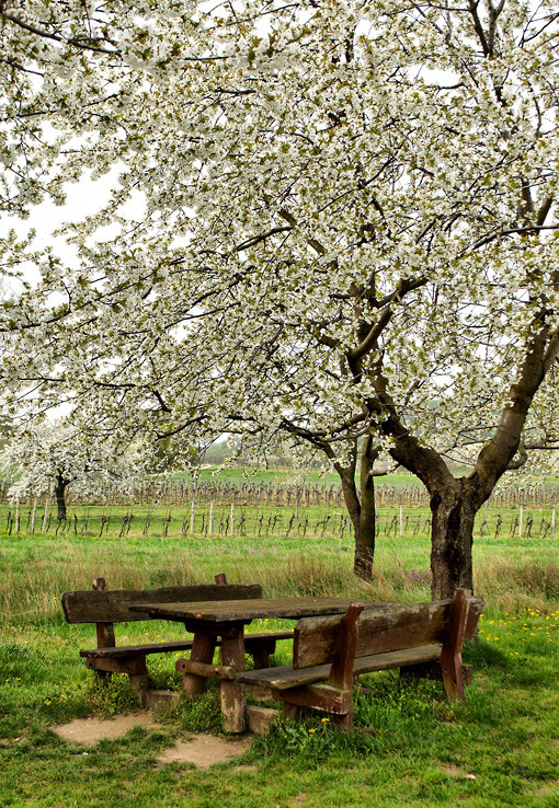 Posedenie pod čerešňou