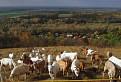 kozy a divocak nad Devinom