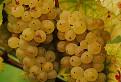 Vinobranie v Rači