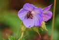 Pakost lúčny (Geranium pratense L.) / 1.0833