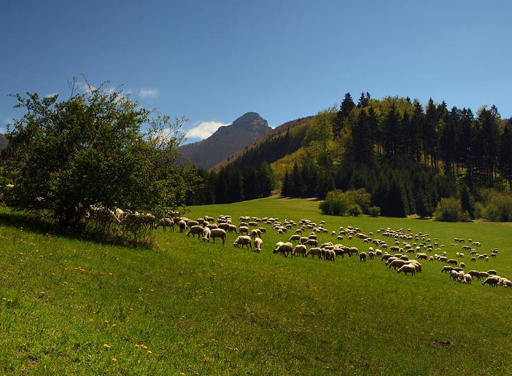 Pásli ovce...