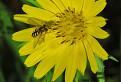 kozobrada lúčna (Tragopogon pratensis)