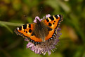 Motýľ (Babôčka pŕhľavová) / 1.0526