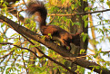 Ako si veverička stromová