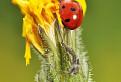 The Ladybird / 1.0000
