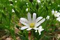 hviezdica veľkokvetá (Stellaria holostea L.)