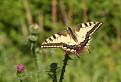 motýľ na lúke