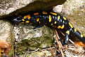 Salamandra / 1.0000