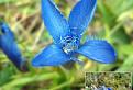 Horček brvitý ( Gentianopsis ciliata )