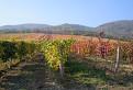 jesenný vinohrad