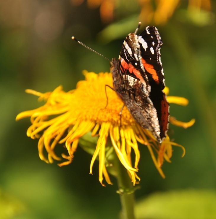 Motýlí krásavec