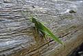 Kobylka zelena ( Tettigonia viridissima )