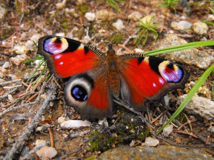 Ranený motýlik