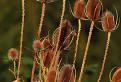 Štetka lesná (Dipsacus fullonum L.)