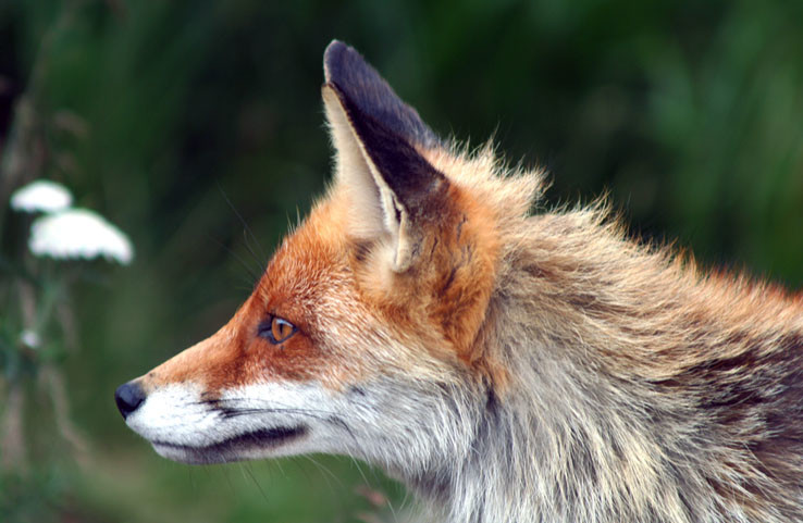 Lišiačik bieloplesý