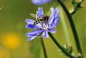 Pestrica hrušková (Scaeva pyrastri)