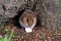 Myšiak zo salaša Zbojská