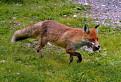 Líška a jej obed