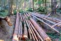 chodník zarúbaný a les vyrúbaný