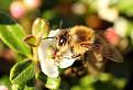 včielka / 1.1250