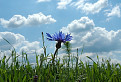 Nevädza poľná, Centaurea cyanus