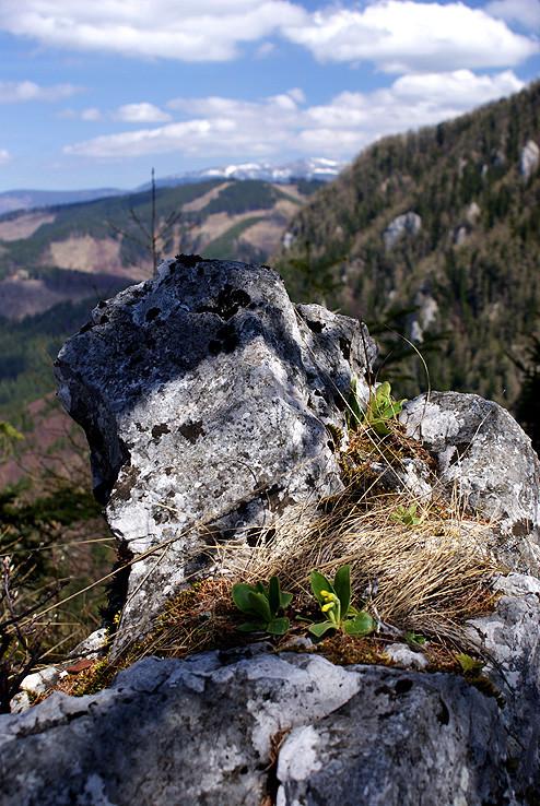 Prvosienka holá(Primula auricula)