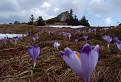 Množstvo rozkvitnutého šafránu