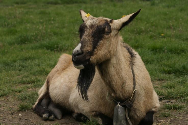 Neterénna koza