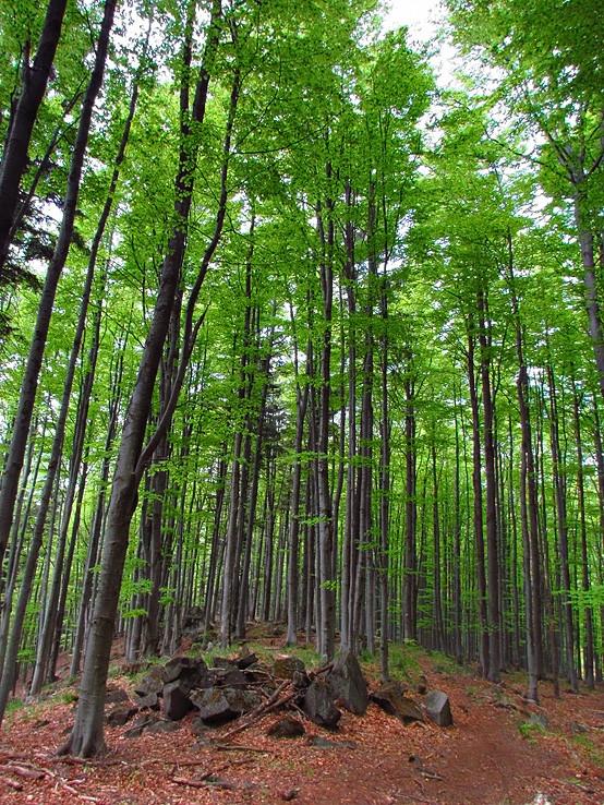 les nad Krivou brezou