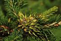 Kôrovnica zelená (Adelges viridis)
