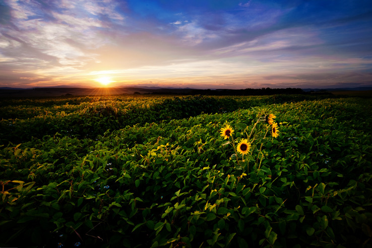 Posledné slnečnice