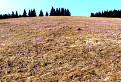 Šafránove pole