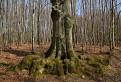 Pazúrový strom / 1.0000