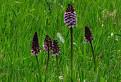 lúka plná orchideí
