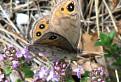 Motyl na Prednom Rokosi