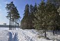 Ráno v borovicovom lese