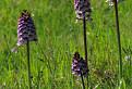 vstavač purpurový (Orchis purpurea)
